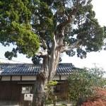 愛染寺の真柏