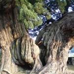 樹齢1.500年以上!(宝生院の真柏)